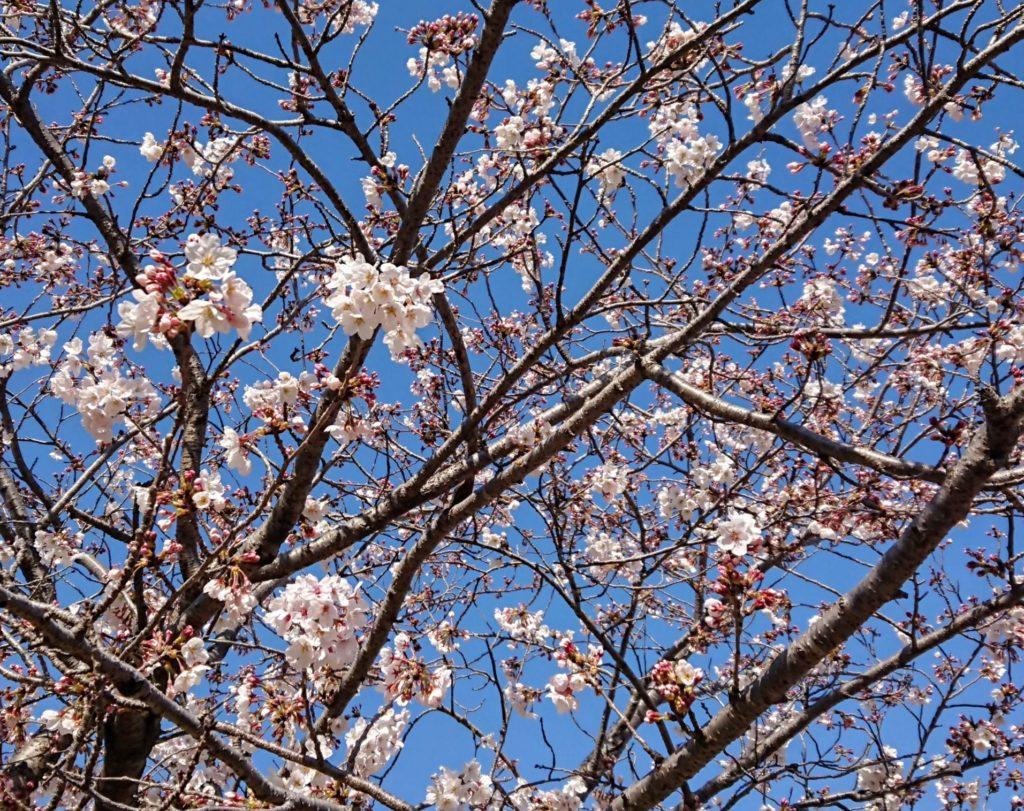 赤穂の桜が開花して見頃はまさに今。ドライブスルーで楽しめる絶景!